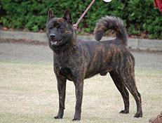 Pasma KAI (Tora Inu – Tiger Dog)