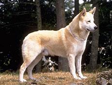 Pasma KANANSKI PES (Canaan Dog – Kaleb Kanaani)