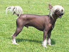 Pasma KITAJSKI GOLI PES (Chinese Crested Dog)