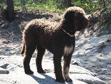 Pasma ROMANSKI VODNI PES (Lagotto Romagnolo – Romagna Water Dog)