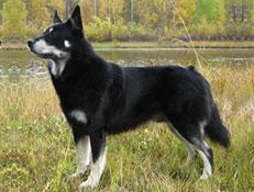 Pasma LAPONSKI JELENAR (Lapland Reindeer Dog)