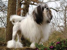 MALI LEVJI PES (Little Lion Dog)
