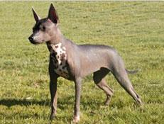 Pasma MEHIŠKI GOLI PES (Mexican Hairles Dog)
