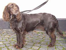 Pasma NEMŠKI PREPELIČAR (Deutscher Wachtelhund – German Spaniel)