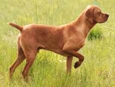 Pasma PORTUGALSKI JEREBIČAR (Portuguese Pointing Dog)