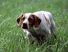 Pasma SANŽERMENSKI PTIČAR (Braque Saint-Germain – St.Germain Vorstehhund)