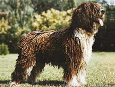 Pasma ŠPANSKI VODNI PES (Spanish Waterdog)
