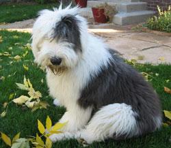 Pasma BOBTAIL – STAROANGLEŠKI OVČAR (Old English Sheepdog – Bobtail)