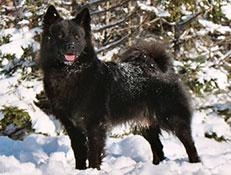 Pasma ŠVEDSKI LAPONSKI PES (Swedish Lapphund)
