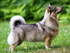 Pasma ŠVEDSKI ŠPIC (Swedish Vallhund)