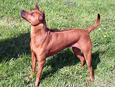 Pasma TAJSKI GREBENAR (Thai Ridgeback Dog)