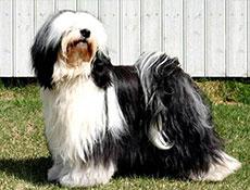 Pasma TIBETANSKI TERIER (Tibetan Terrier)