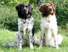 Pasma WETTERHOUN – FRIZIJSKI VODNI PES (Frisian Water Dog – Wetterhoun)