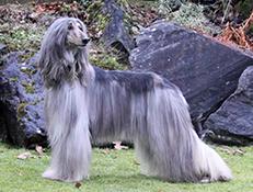 Pasma AFGANISTANSKI HRT (Afghan Hound)