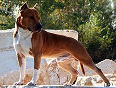 Pasma AMERIŠKI STAFORDSHIRE TERIER (American Staffordshire Terrier)