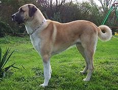 Pasma ANATOLSKI OVČAR (Coban Köpegi – Anatolian Shepherd Dog)