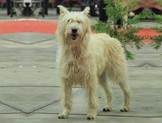 Pasma ARDENSKI GOVEDAR (Ardennes Cattle Dog)