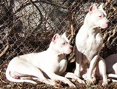 Pasma ARGENTINSKA DOGA  (Dogo Argentino)