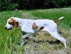 Pasma ARIEŠKI PTIČAR (Braque de l'Ariege – Ariege Pointing Dog)
