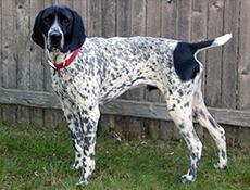 Pasma AUVERNJSKI PTIČAR (Braque d'Auvergne – Auvergne Pointing Dog)