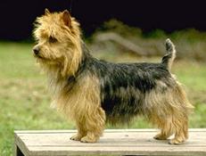 Pasma AVSTRALSKI TERIER (Australian Terrier)