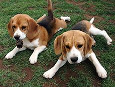 Pasma BEAGLE (Beagle)