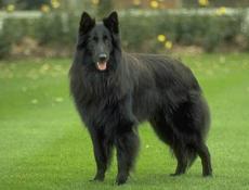 Pasma BELGIJSKI OVČAR GROENENDAEL (Belgian Shepherd Dog – Groenendael)