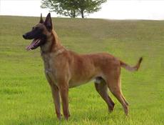 Pasma BELGIJSKI OVČAR MALINOIS (Belgian Shepherd Dog – Malinois)