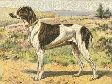 Izumrle pasme psov, Braque Dupuy