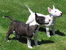 Pasma BULTERIER (Bull Terrier)