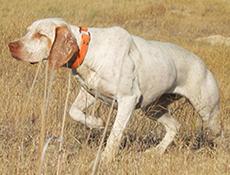 Pasma BURBONEŠKI PTIČAR (Braque du Bourbonnais – Bourbonnais Pointing Dog)
