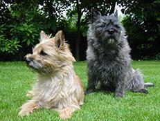 Pasma CAIRNSKI TERIER – GOMILAR (Cairn Terrier)