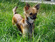 Pasma ČIVAVA (Chihuahua)