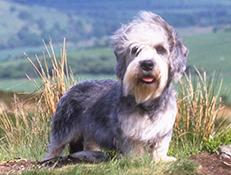 Pasma DANDIE DINMONTOV TERIER (Dandie Dinmont Terrier)