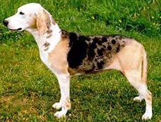 Pasma DUNKER (Dunker – Norwegian Hound)