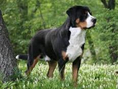 Pasma ENTLEBUŠKI PLANŠARSKI PES (Entlebuch Cattle Dog)