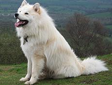 Pasma FINSKI LAPONSKI PES – LAPPHUND (Finnish Lapphund)