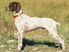 Pasma FRANCOSKI PIRENEJSKI PTIČAR (French Pointing Dog, Pyrenean type)