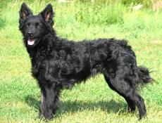 Pasma HRVAŠKI OVČAR (Croatian Sheepdog)