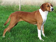 Pasma HIGENOV GONIČ – HYGENHUND (Hygenhund)