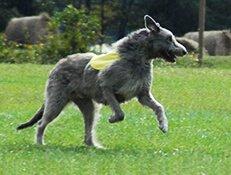 Pasma IRSKI VOLČJI HRT (Irish Wolfhound)