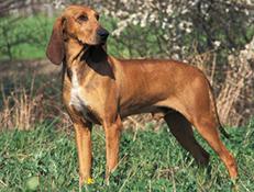 Pasma ITALIJANSKI KRATKODLAKI GONIČ (Italian short-haired hound)