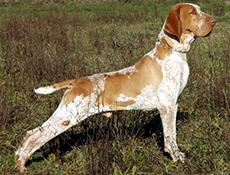 Pasma ITALIJANSKI PTIČAR (Bracco Italiano – Italian Pointing Dog)