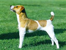 Pasma JACK RUSSEL TERIER (Jack Russell Terrier)