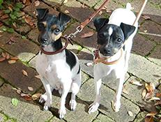 Pasma JAPONSKI TERIER (Japanese Terrier)