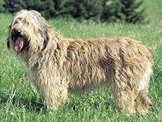Pasma KATALONSKI OVČAR (Catalan Sheepdog)