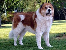 Pasma KAVKAŠKI OVČAR (Caucasian Shepherd Dog)
