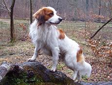 Pasma NIZOZEMSKI PREPELIČAR – KOOIKERHONDJE (Kooikerhondje – Small Dutch Waterfowl Dog)