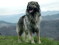 Pasma KRAŠKI OVČAR (Karst Shepherd Dog)
