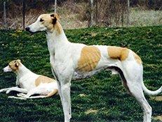 Pasma MADŽARSKI HRT (Magyar Agar – Hungarian Greyhound)